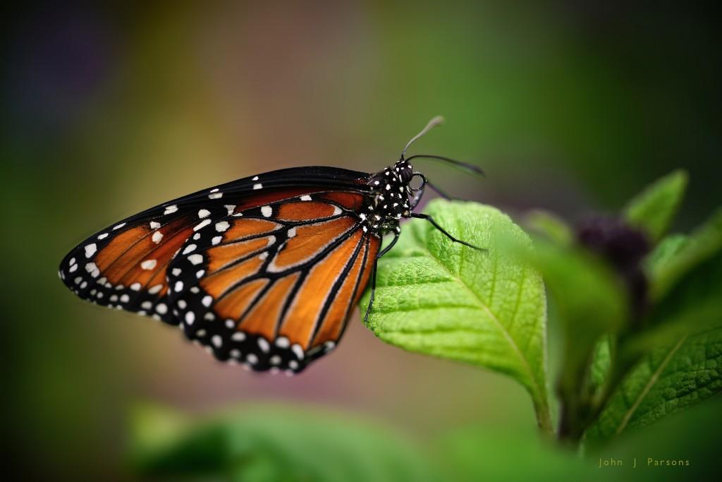monarch329